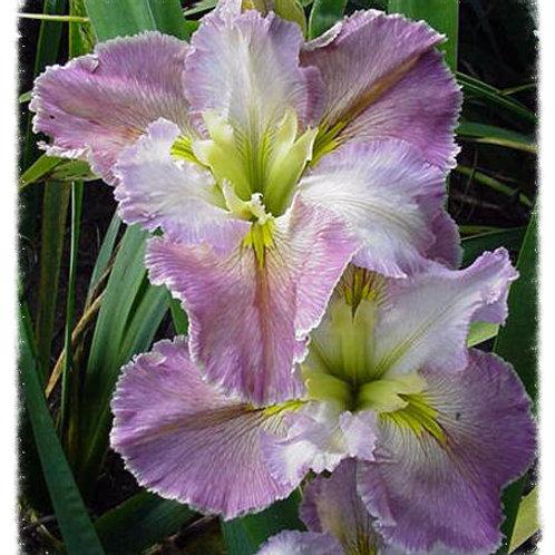 Iris Louisiana 'Heather Pryor'