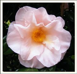 Camellia 'Moonlight Bay'