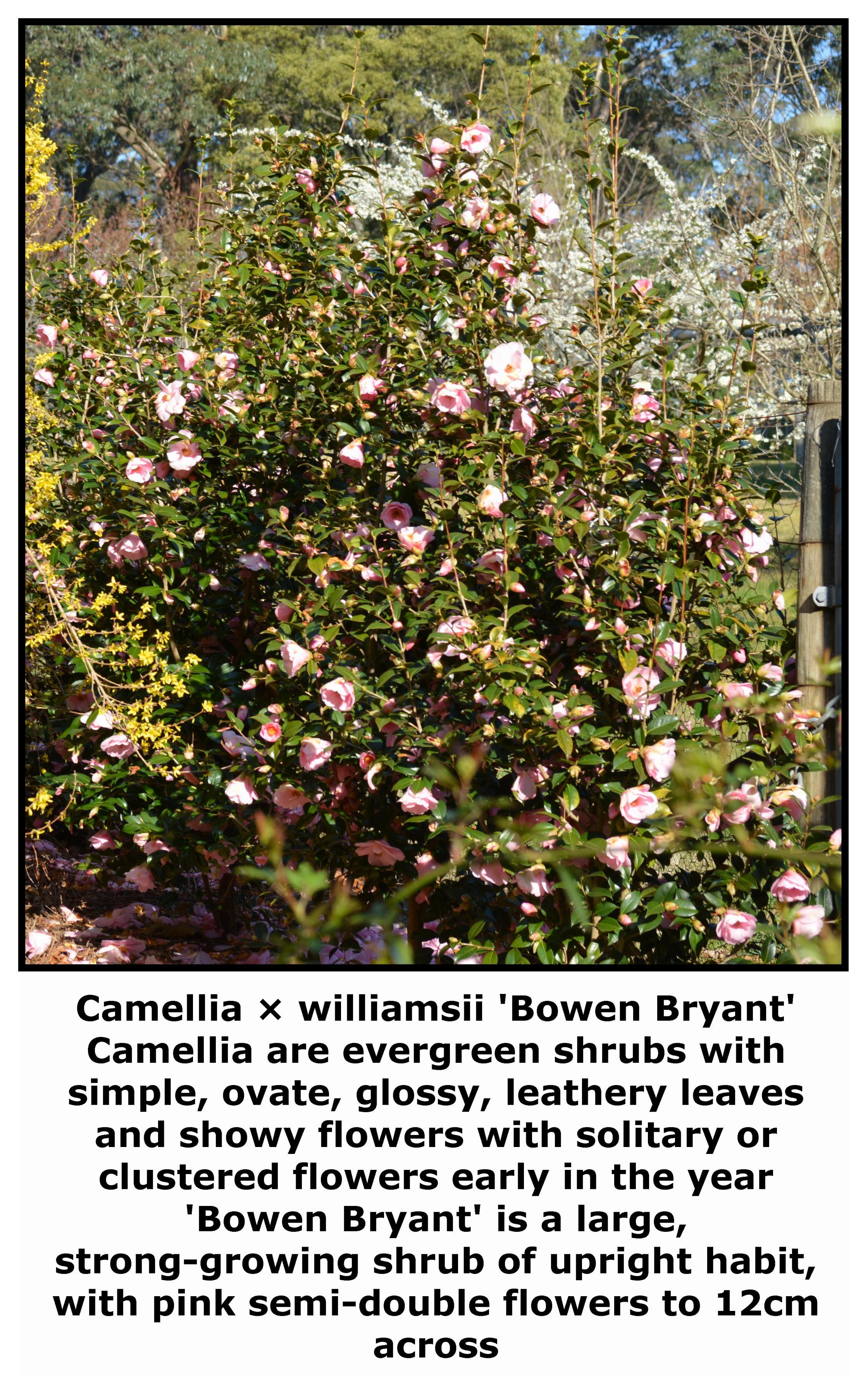 Camellia 'Bowen bryant