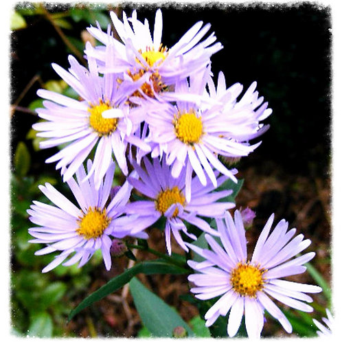 Asters hybrid (unknown) 'Easter Daisy'