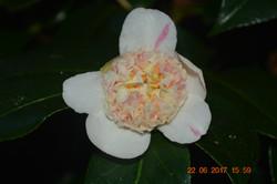 Camellia Ark Australia Incorporated