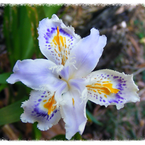 Evansia Iris japonica 'Ledger's Variety'
