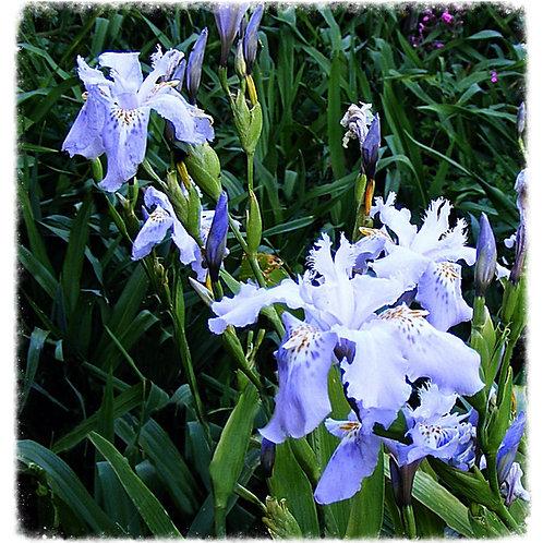 Evansia Iris japonica 'Sylvia'