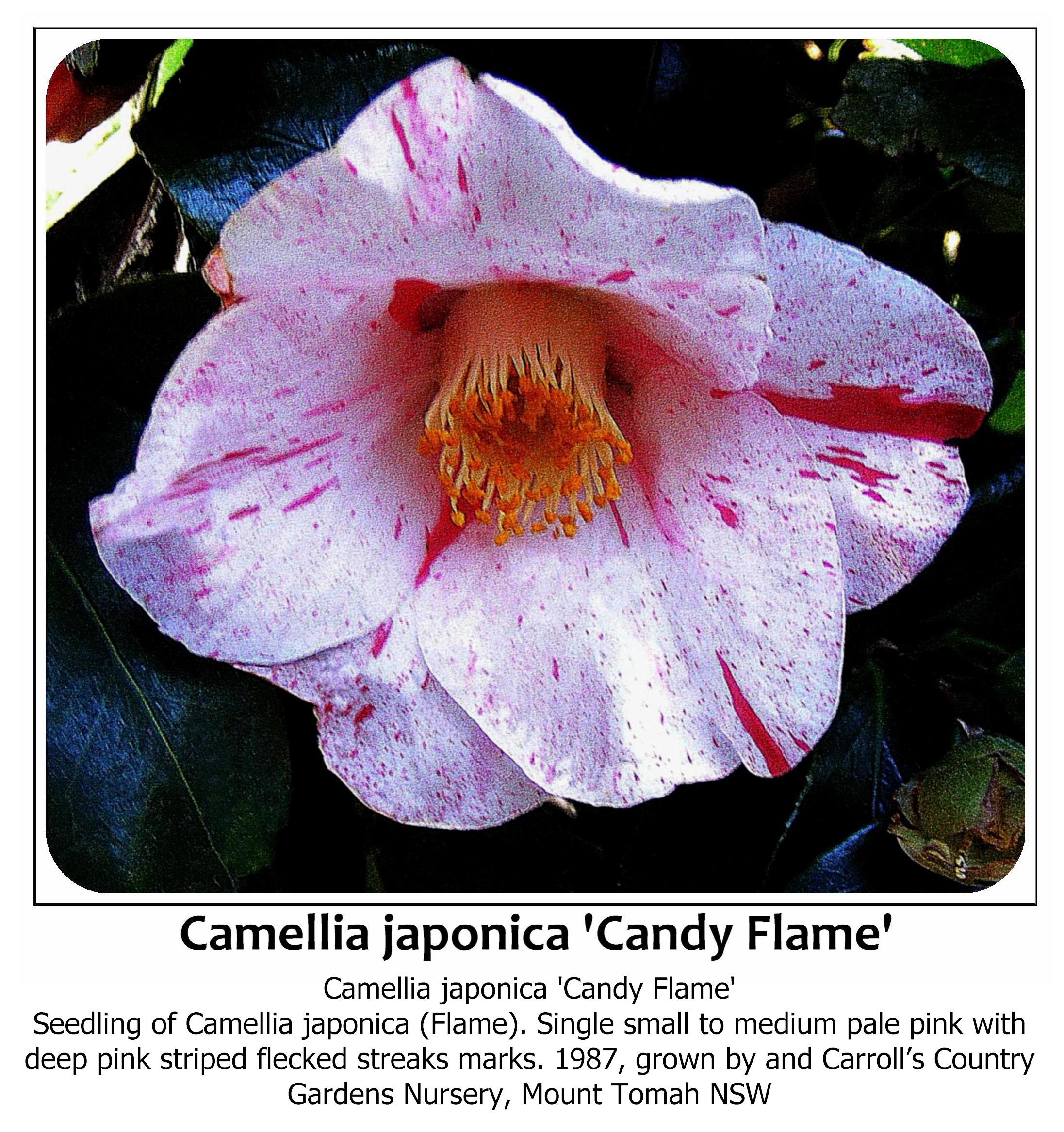 Camellia japonica 'Candy Flame'