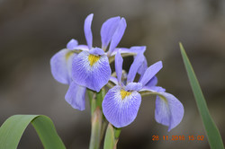 Iris Society of New South Wales