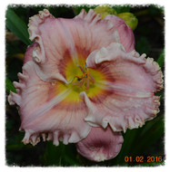 Get Your BARGAIN Latest daylily hybrids