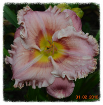 Get Your BARGAIN Latest daylily hybrids