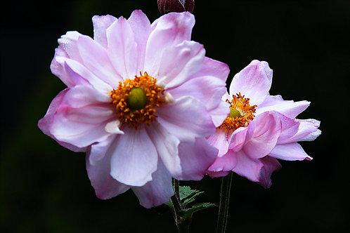 Anemone 'Queen Charlotte'