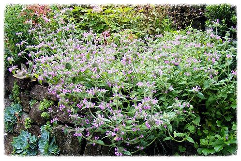 Clinopodium vulgare 'Cushion Calamint, Wild Basil'