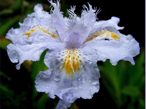 Iris confusa (Yunnan Form Blue)