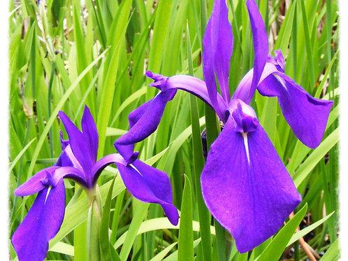 Iris laevigata 'Janet's Gift'