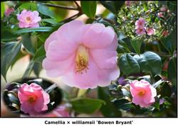 Camellia 'Bowen Bryant'