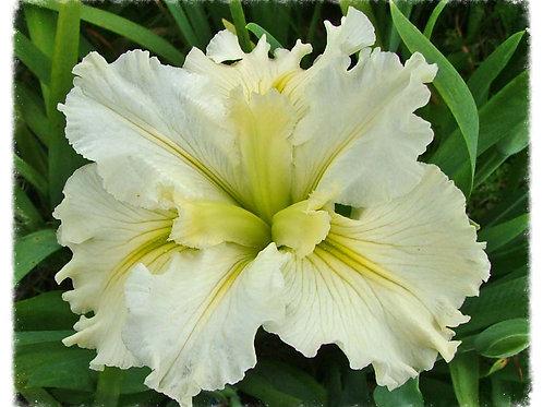 Iris Louisiana 'Rivendell'