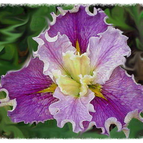 Iris Louisiana ' Renee Fleming'