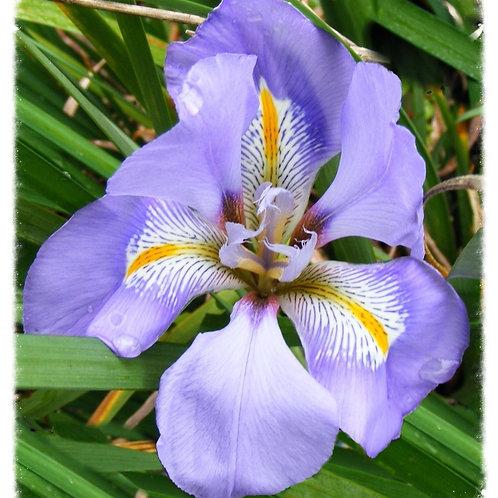 Iris unguicularis 'Winter Iris'