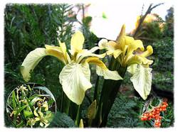 Iris foetidissima_edited.jpg