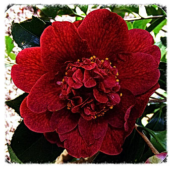 (Click image to view full size) From Bob Hope seedling. Deep red. Semi-double. Compact growth and long flowering. Flower late winter in the Blue Mountains. Australian bred. Grown and originally named by Craig Carroll of Carroll's Country Gardens Nursery, M