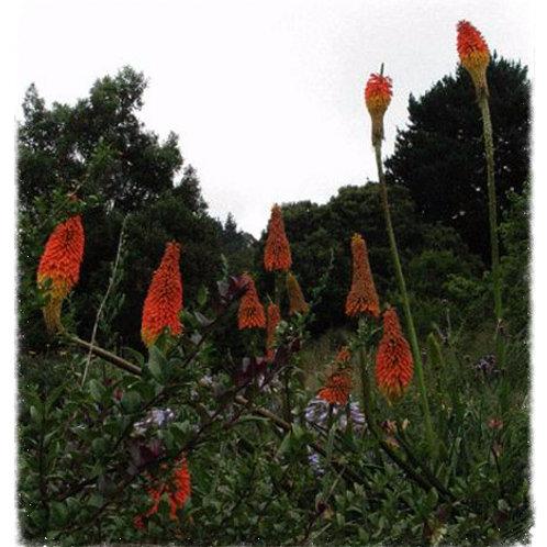 Kniphofia linearifolia syn. K. uvaria var. maxima