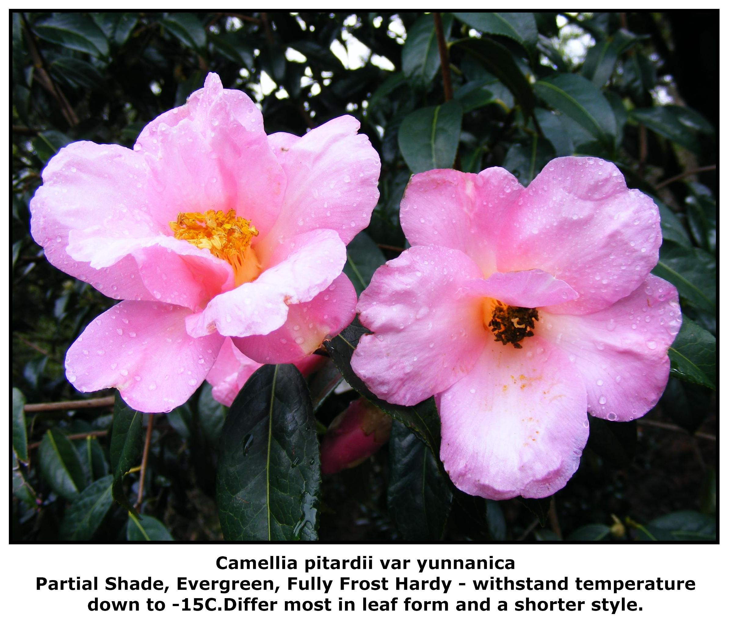 C. pitardii var yunnanica