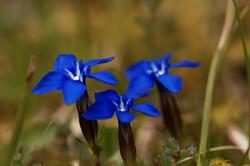 Fleurs des Mémises