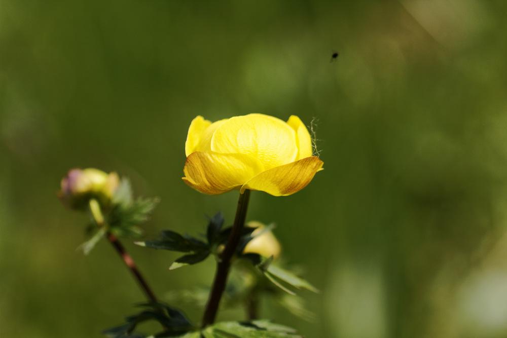 Fleurs des Mémises au printemps