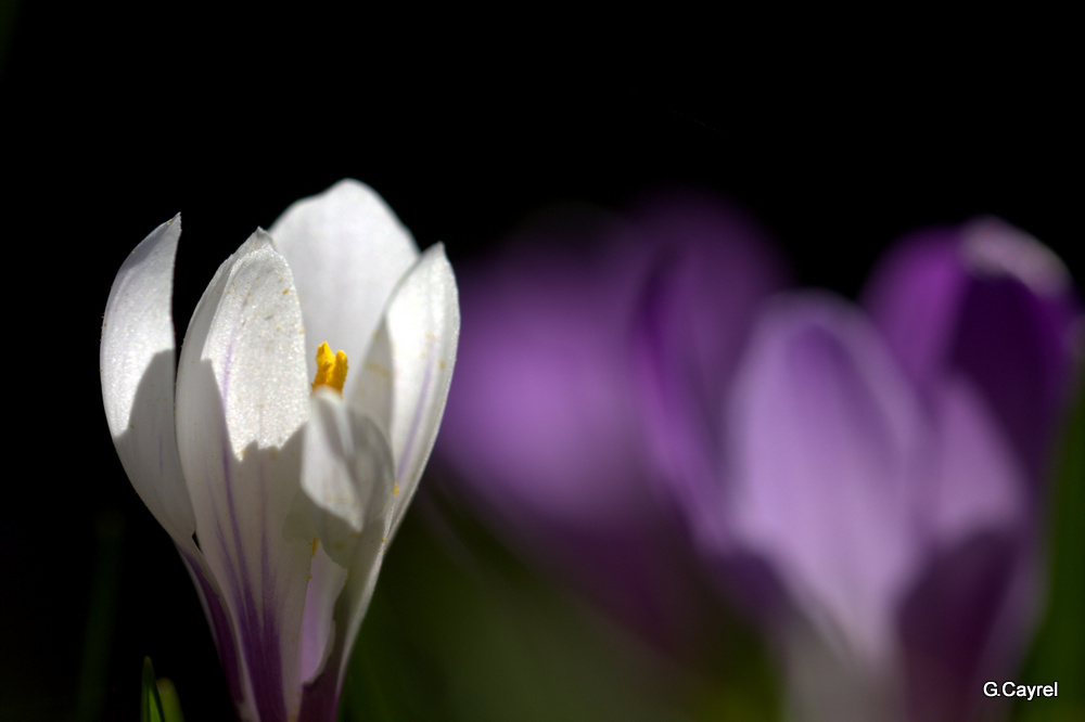 crocus à Thollon