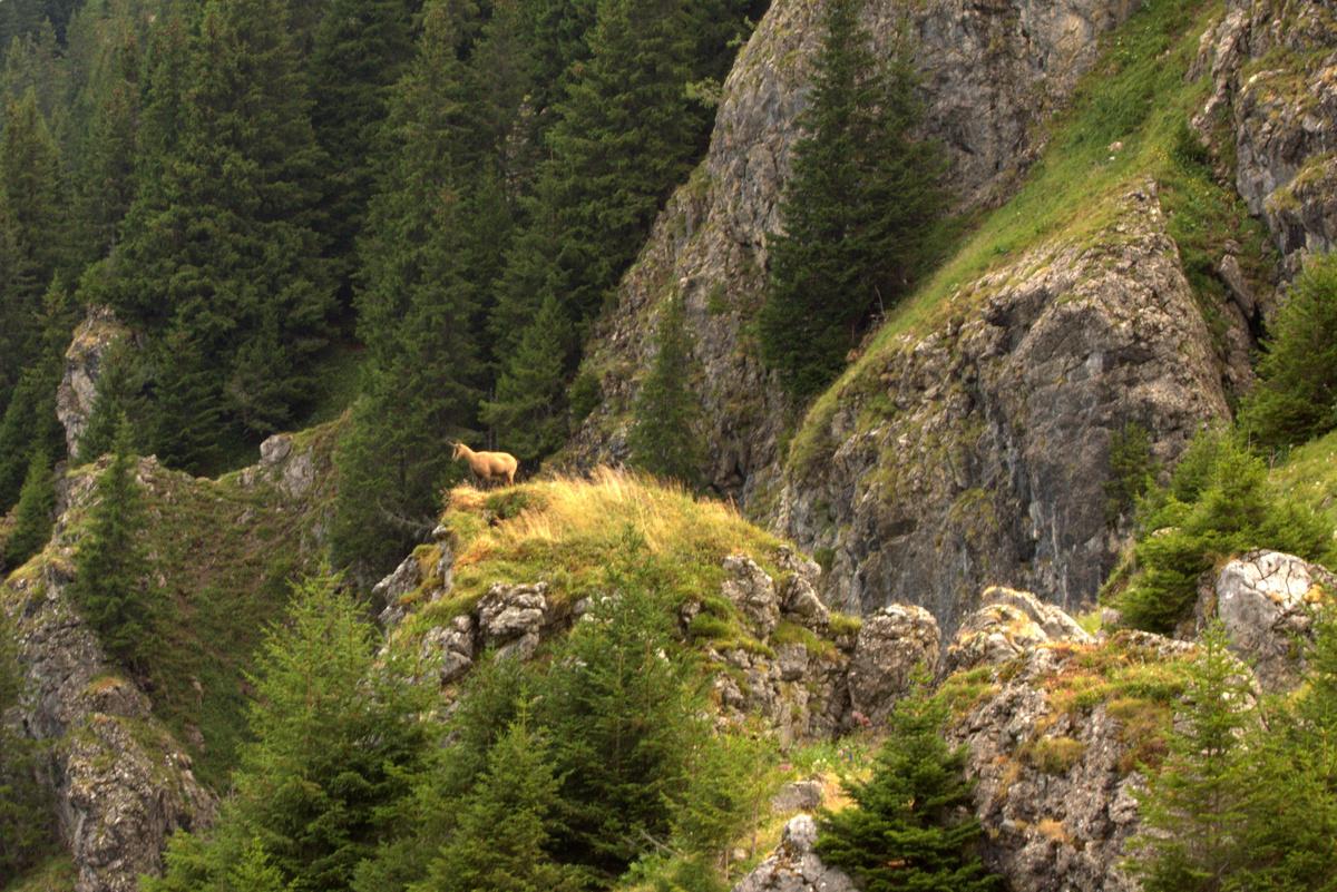 sortie chamois Mont de Grange