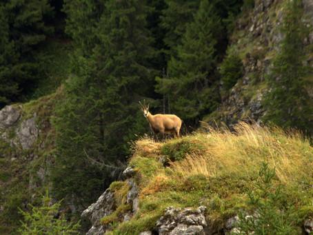 Sortie chamois au Mont de Grange avec Yves Chereau accompagnateur en montagne