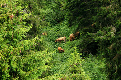 vaches montagnardes
