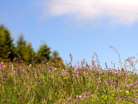 fin juin à Thollon : les fleurs  d'alpage !