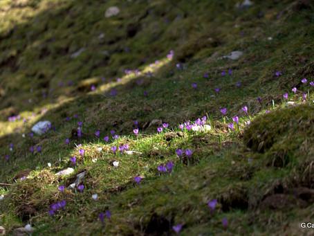 Fleurs de printemps à Thollon