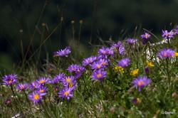 THOLLON - Mémises fleuries