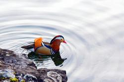 canard mandarin au Léman