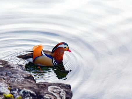 les surprises du Léman : le canard mandarin