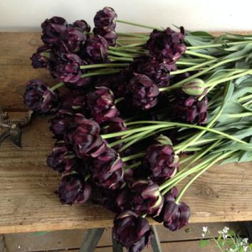 Black hero organic tulips for workshop