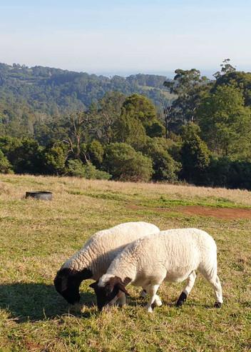 Dorper Sheep.jpg