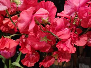 「赤いスイートピー」と「青い薔薇」。