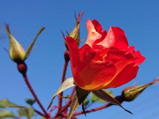 Valentine day と赤い薔薇。