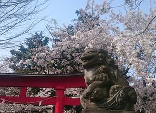 桜流しの雨もなく。