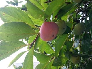 柿の実のモテ期