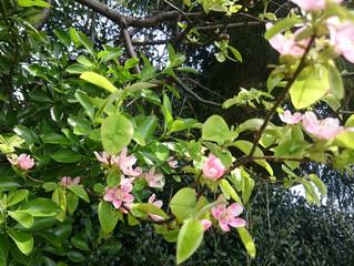 花梨の花に会う。