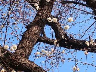 早咲きの梅に雪。
