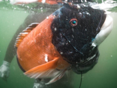 A Beginners Guide to Spearfishing San Diego, California