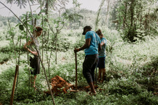Our volunteers plant orange trees as part of Project Orange Elephant