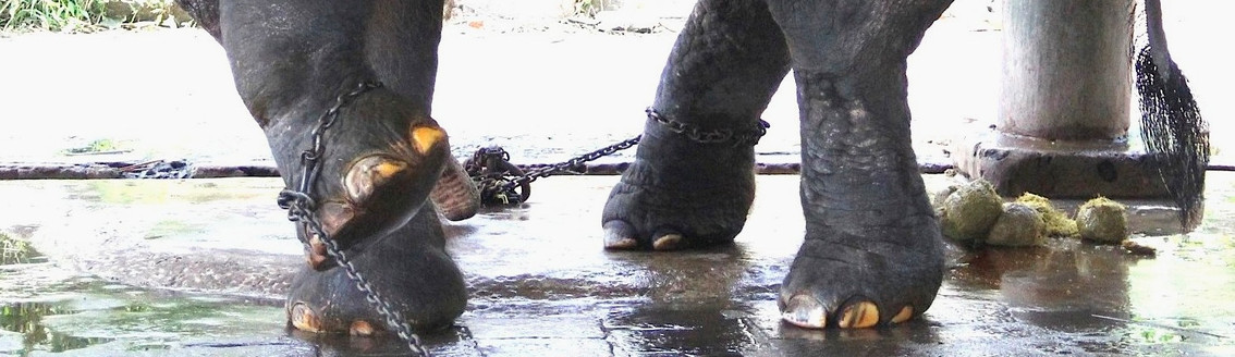 Elephant multiple feet in chains