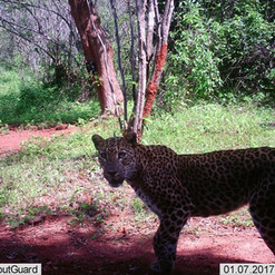 Beautiful leopard caught on our camera trap