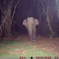 Lone elephant on our camera trap