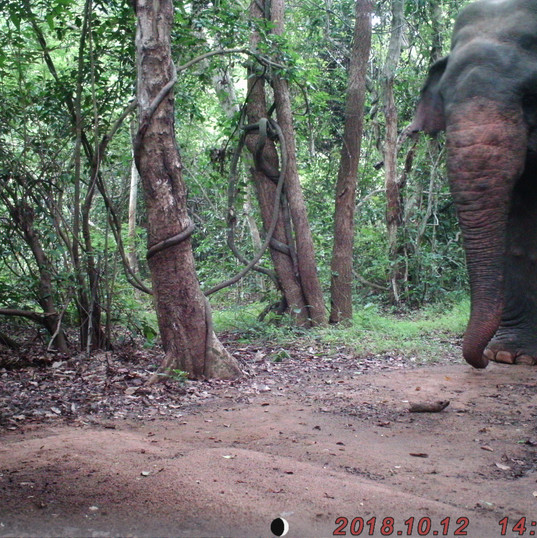Mature adult male elephant enters the fo
