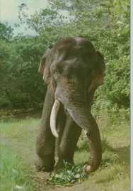 A Tusker trap gun wound on front leg