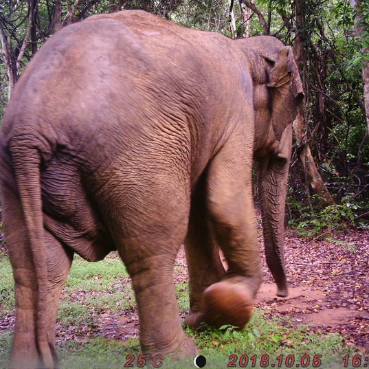 Large male caught on our camera trap one